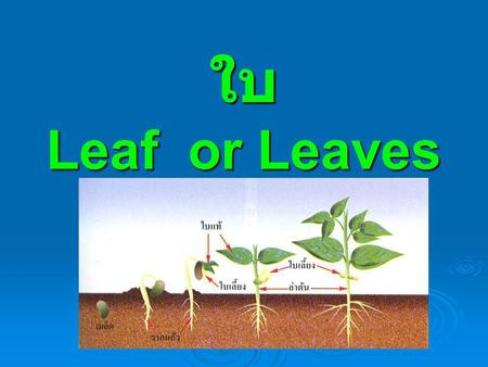 ใบ Leaf or Leaves.