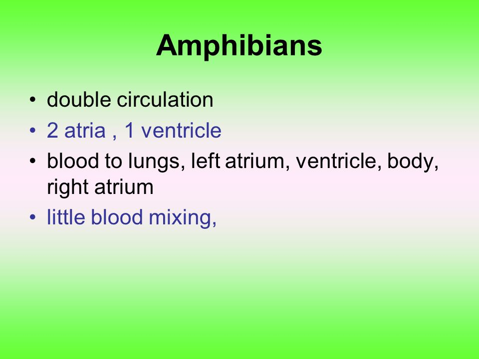 Amphibians double circulation 2 atria , 1 ventricle