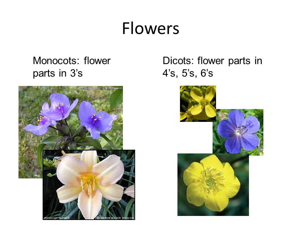 Flowers Monocots: flower parts in 3's