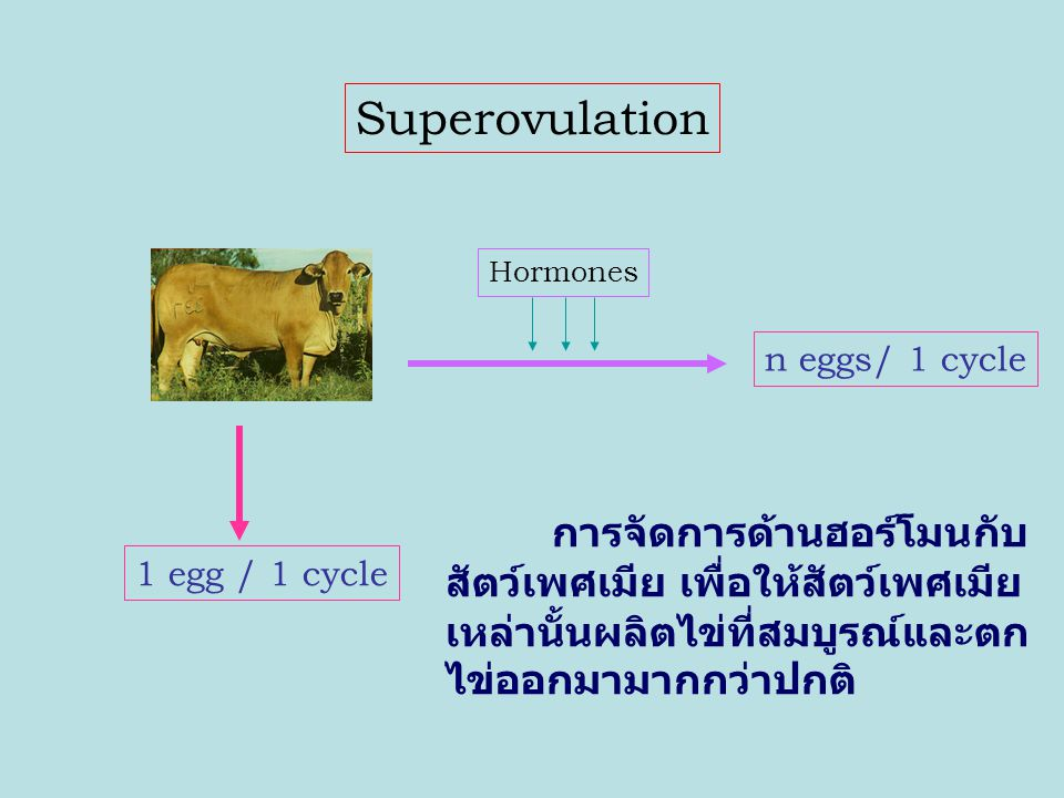 Superovulation n eggs/ 1 cycle