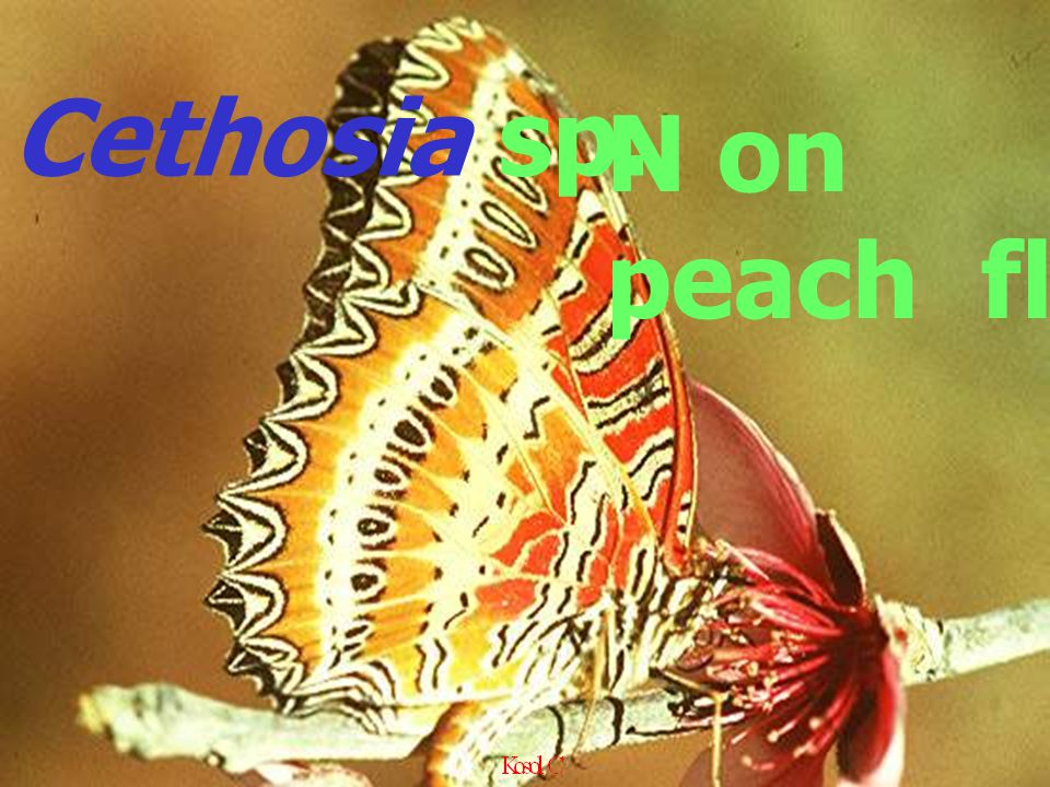 Cethosia sp. N on peach fl