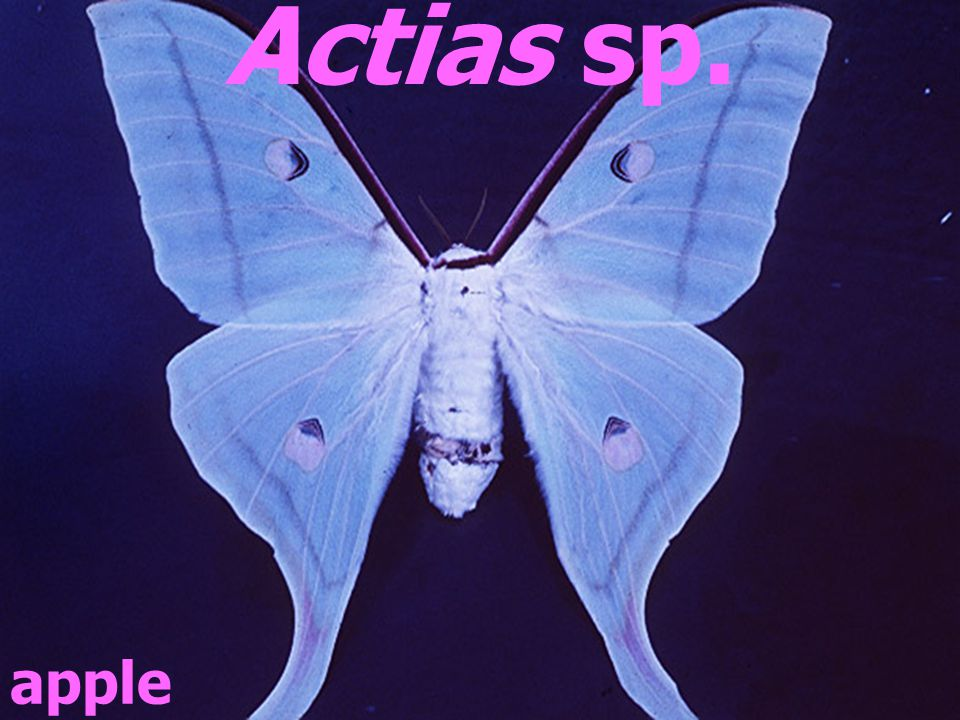 Actias sp. apple