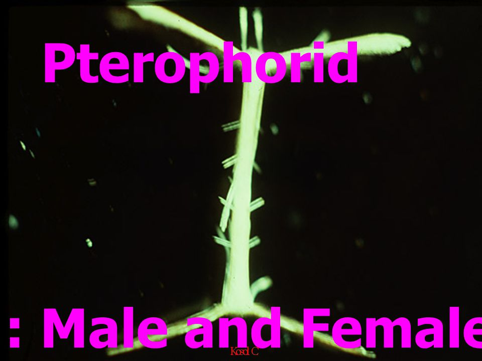 Pterophorid : Male and Female
