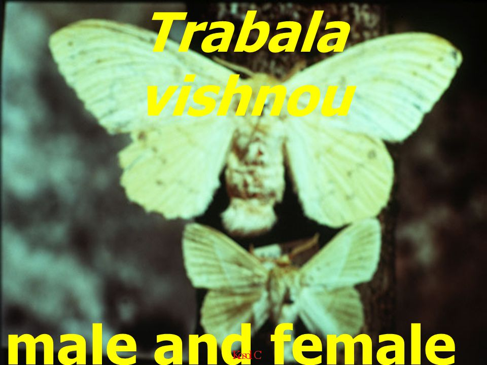 Trabala vishnou male and female