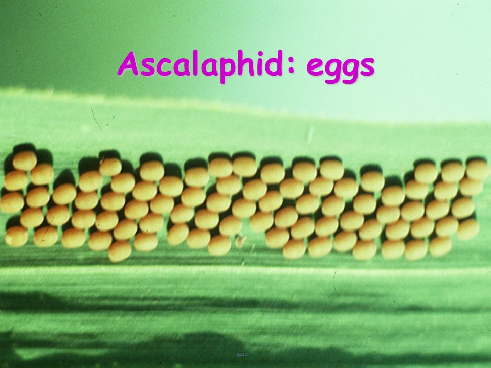 Ascalaphid: eggs