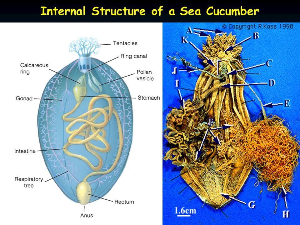 Internal Structure of a Sea Cucumber