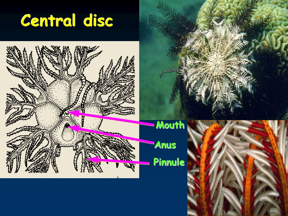 Central disc Mouth Anus Pinnule
