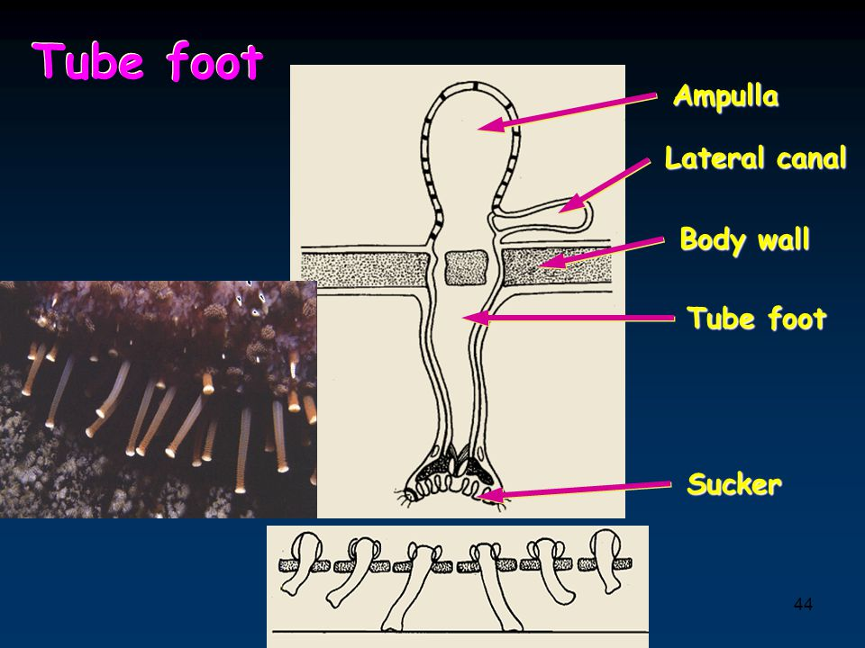 Tube foot Ampulla Lateral canal Body wall Tube foot Sucker