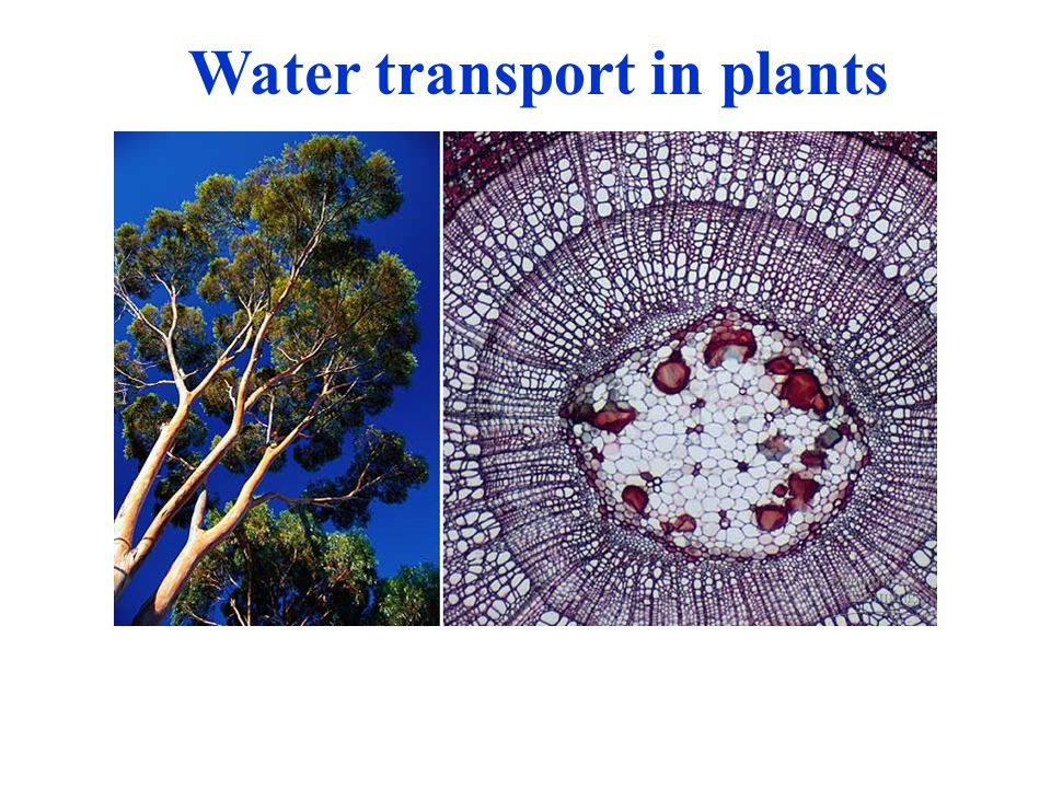 Water transport in plants