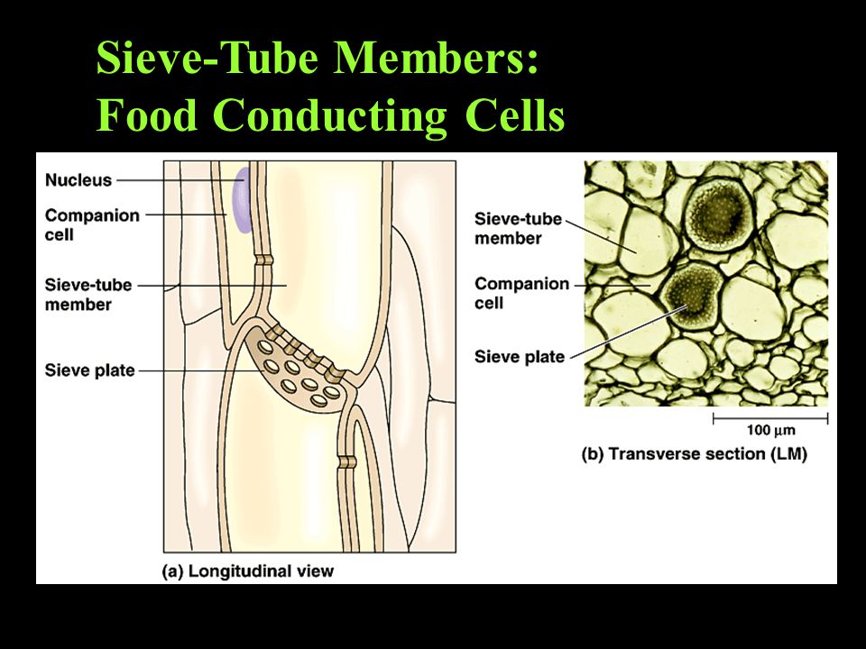 Sieve-Tube Members: Food Conducting Cells