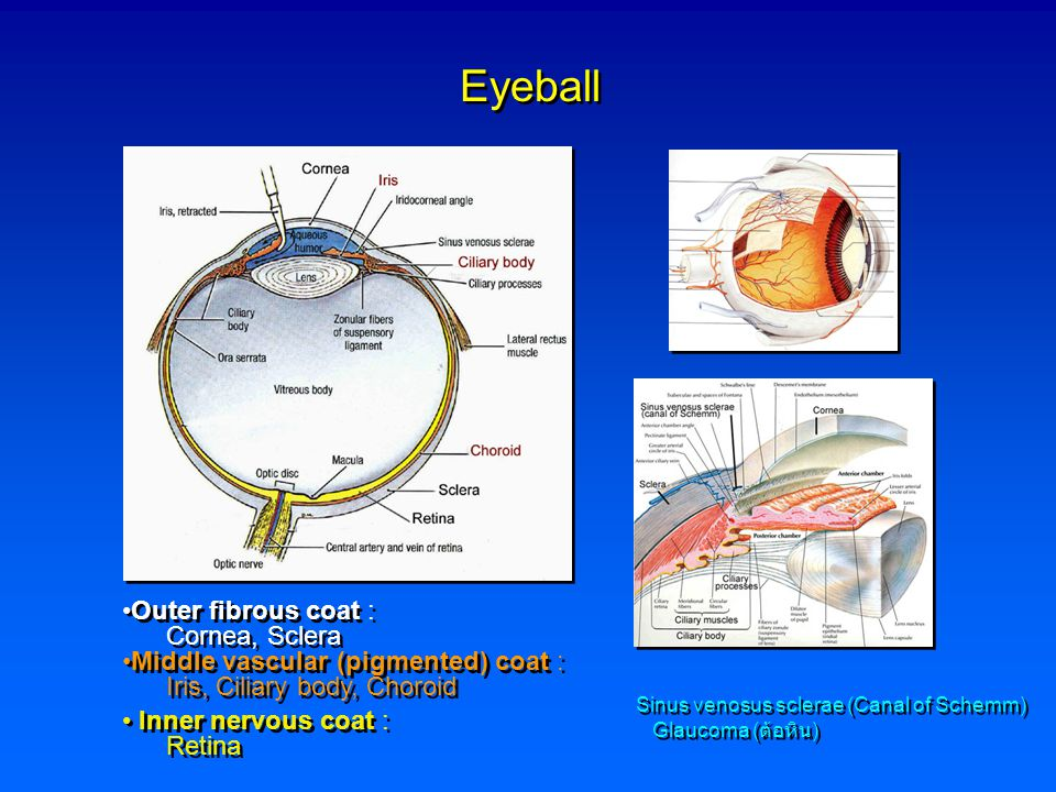 Eyeball Outer fibrous coat : Cornea, Sclera