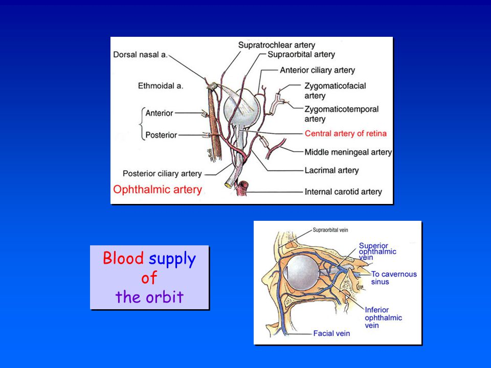 Blood supply of the orbit