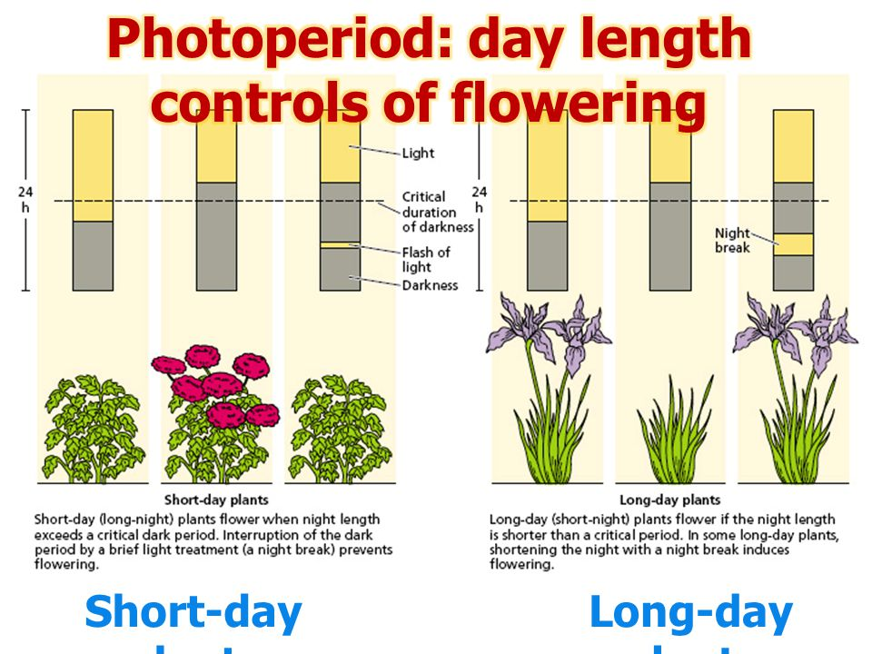Photoperiod: day length controls of flowering