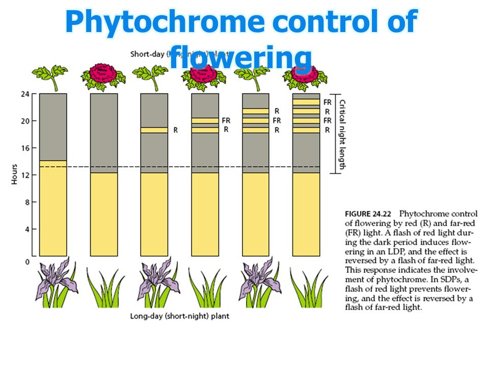 Phytochrome control of flowering