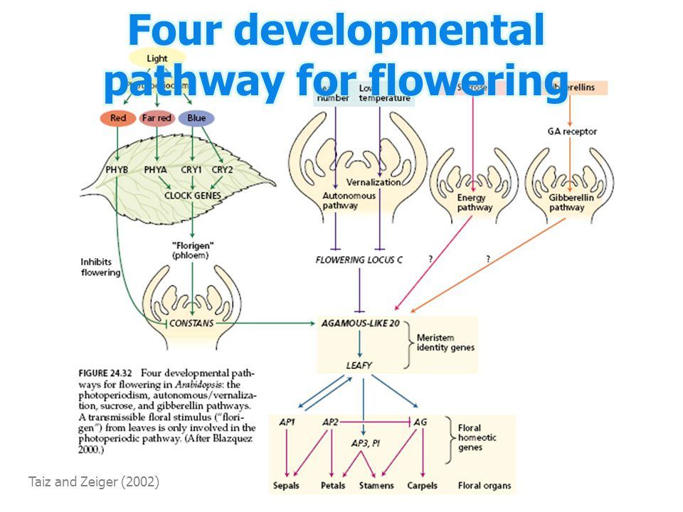 Four developmental pathway for flowering