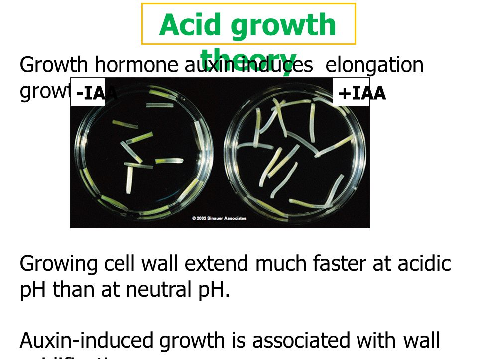 Acid growth theory Growth hormone auxin induces elongation growth of plant cells. -IAA. +IAA.