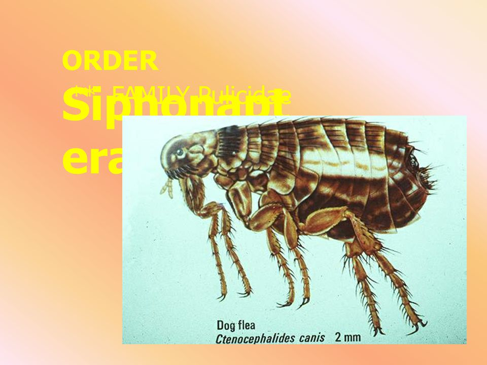 ORDER Siphonaptera ** FAMILY Pulicidae