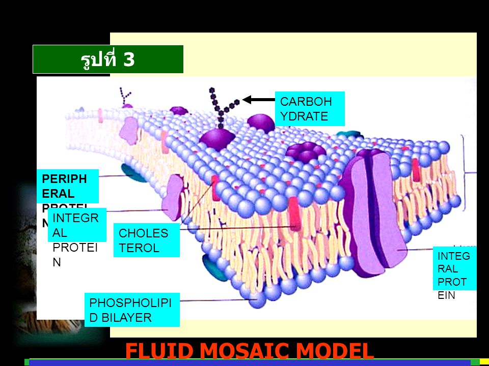 FLUID MOSAIC MODEL รูปที่ 3 CARBOHYDRATE PERIPHERAL PROTEIN