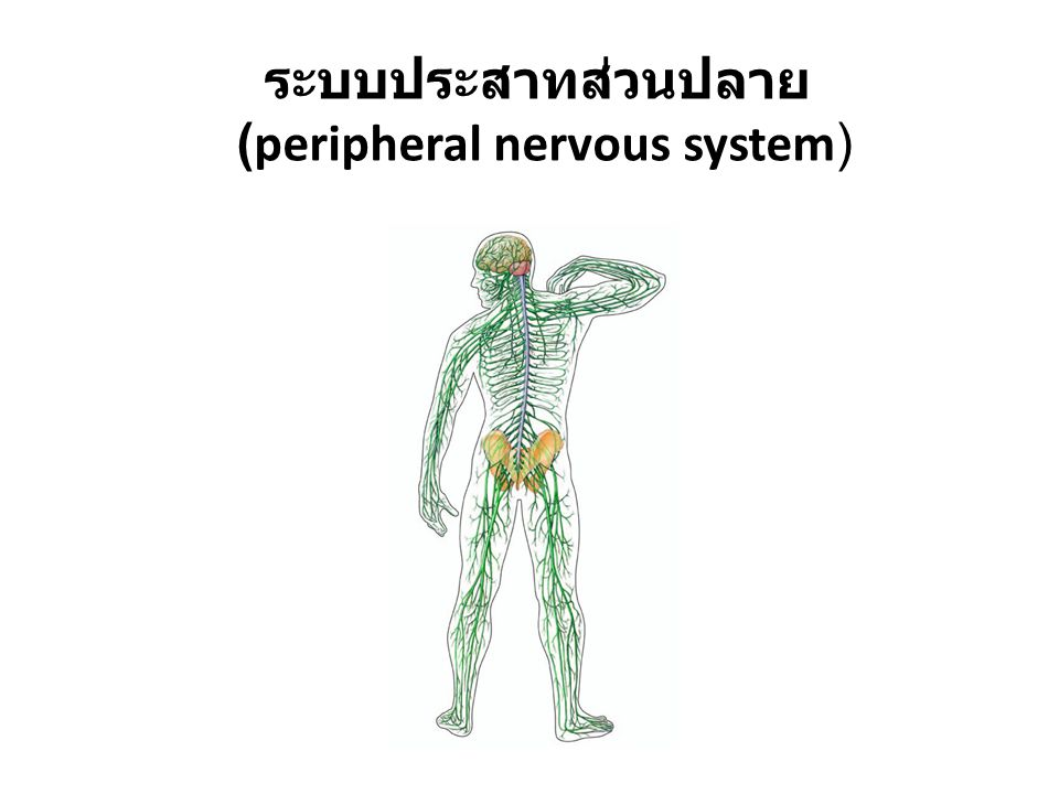 (peripheral nervous system)