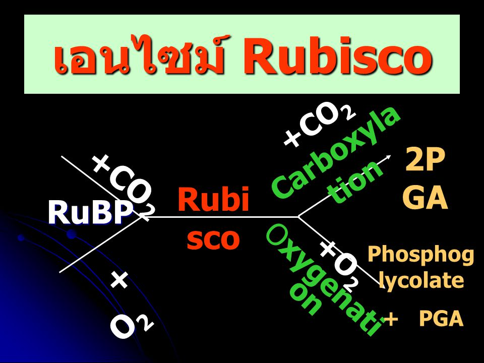 เอนไซม์ Rubisco 2PGA +CO2 RuBP Rubisco + O2 +CO2 Carboxylation