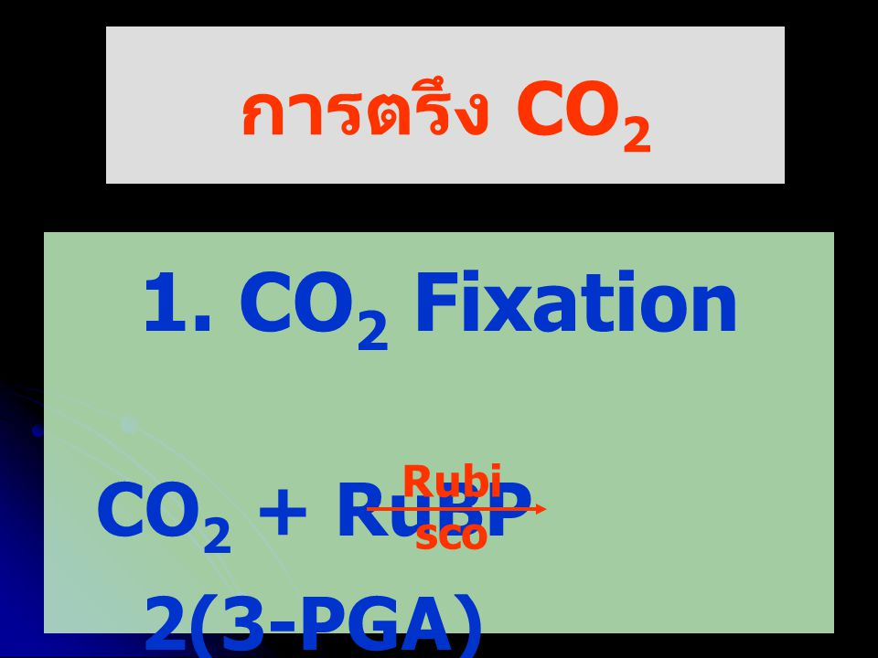 การตรึง CO2 1. CO2 Fixation CO2 + RuBP 2(3-PGA) Rubisco