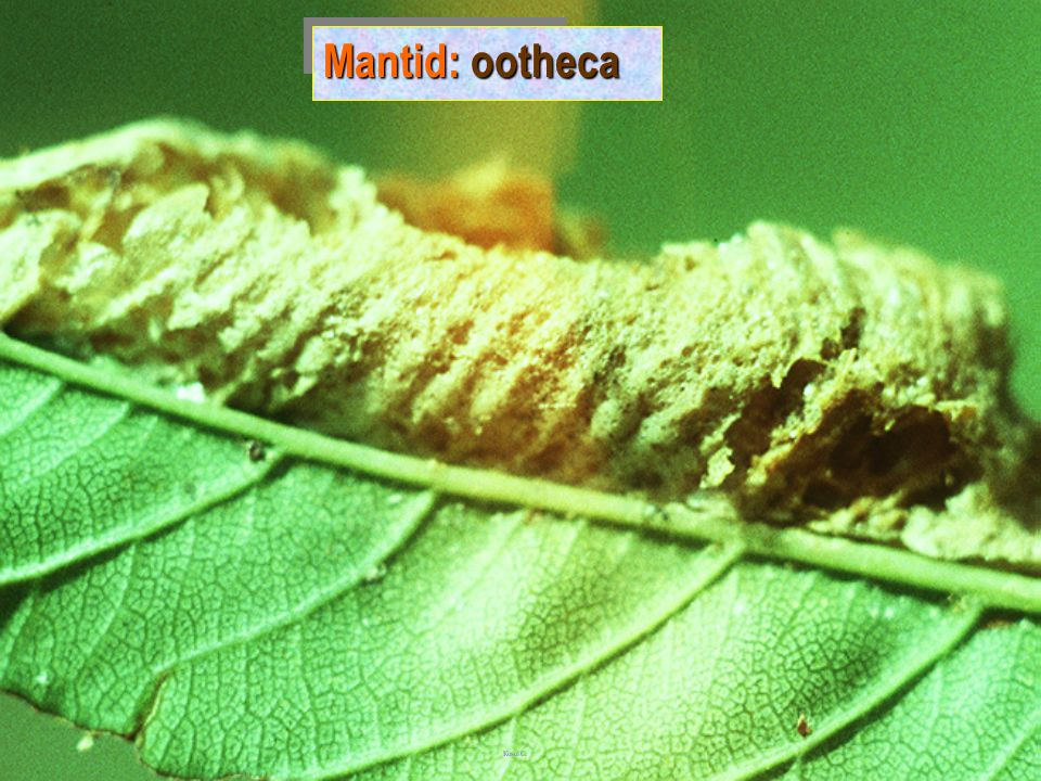 Mantid: ootheca
