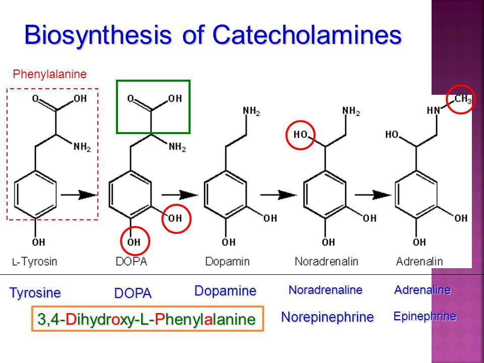 Biosynthesis of Catecholamines