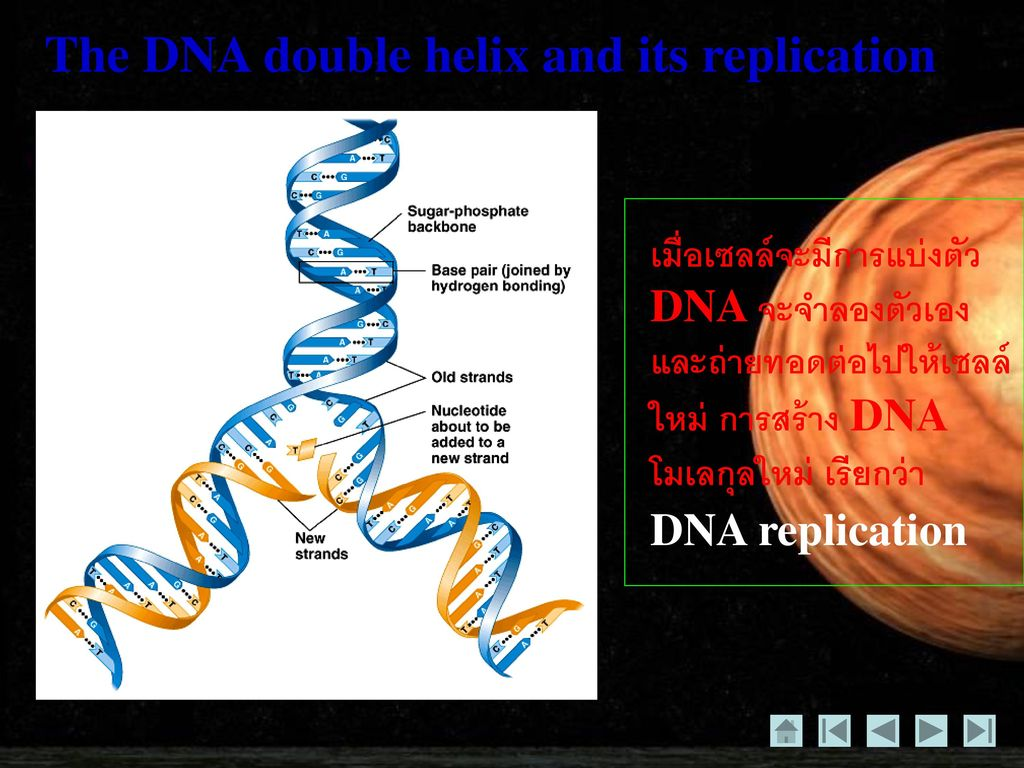 The DNA double helix and its replication