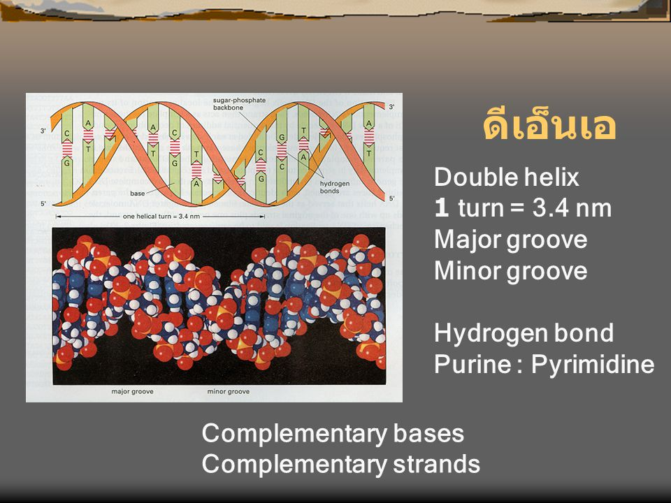 ดีเอ็นเอ Double helix 1 turn = 3.4 nm Major groove Minor groove