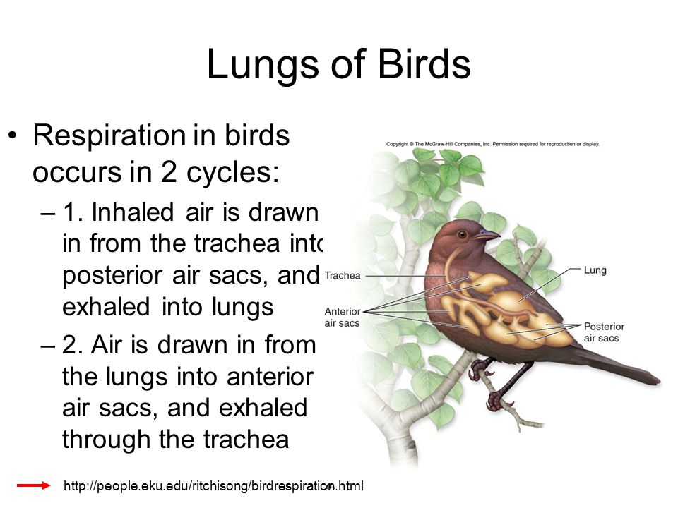 Lungs of Birds Respiration in birds occurs in 2 cycles: