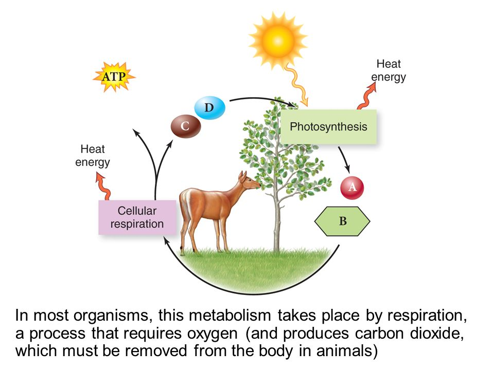 In most organisms, this metabolism takes place by respiration, a process that requires oxygen (and produces carbon dioxide, which must be removed from the body in animals)